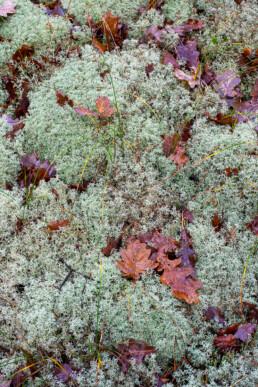 Dikke, gesloten kussens van open rendiermos (Cladina portentosa) op een duinhelling in het Noordhollands Duinreservaat bij Bergen.
