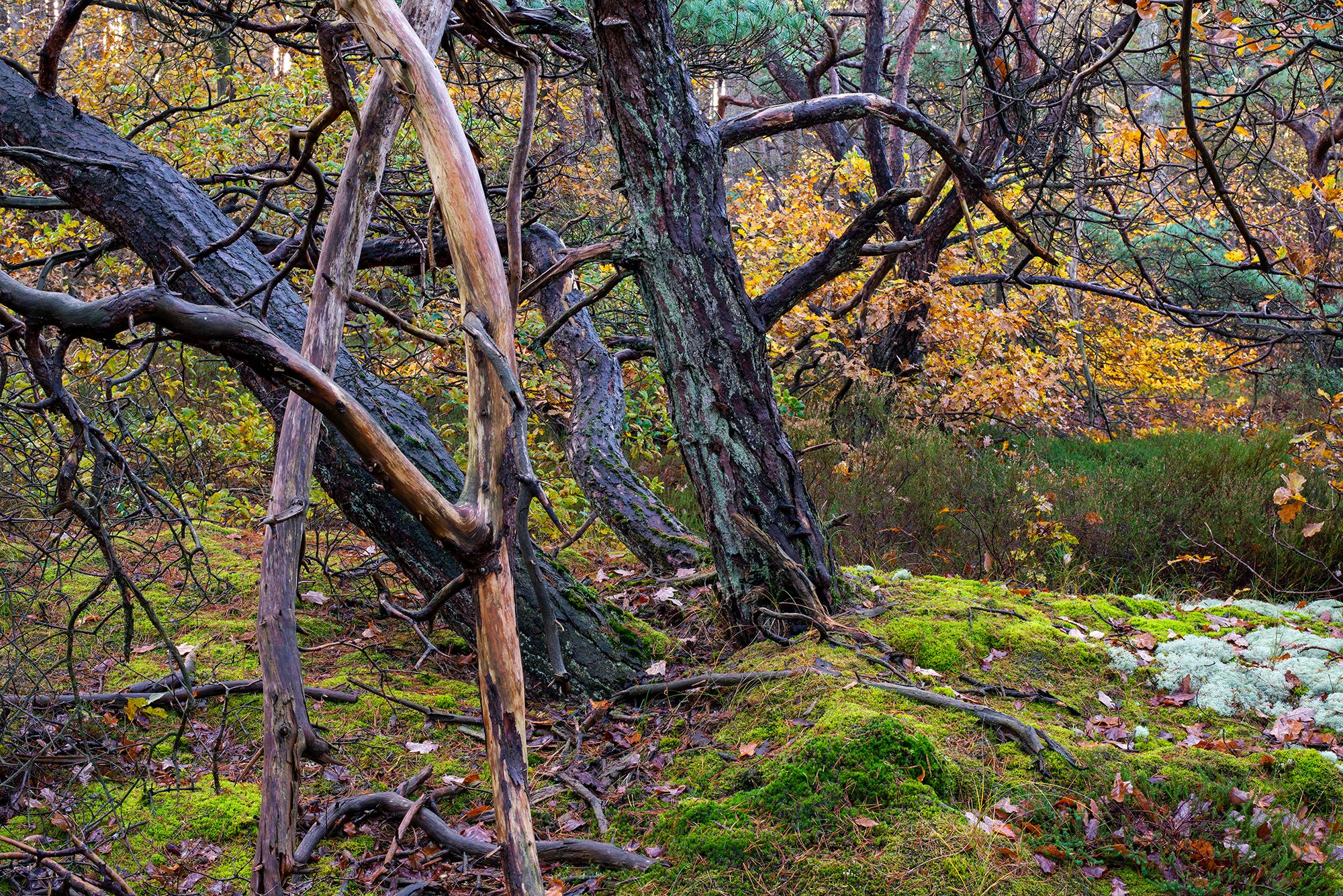 Verwrongen boomstammen en takken op met mossen bedekte grond in het oude naaldbos van de Schoorlse Duinen.
