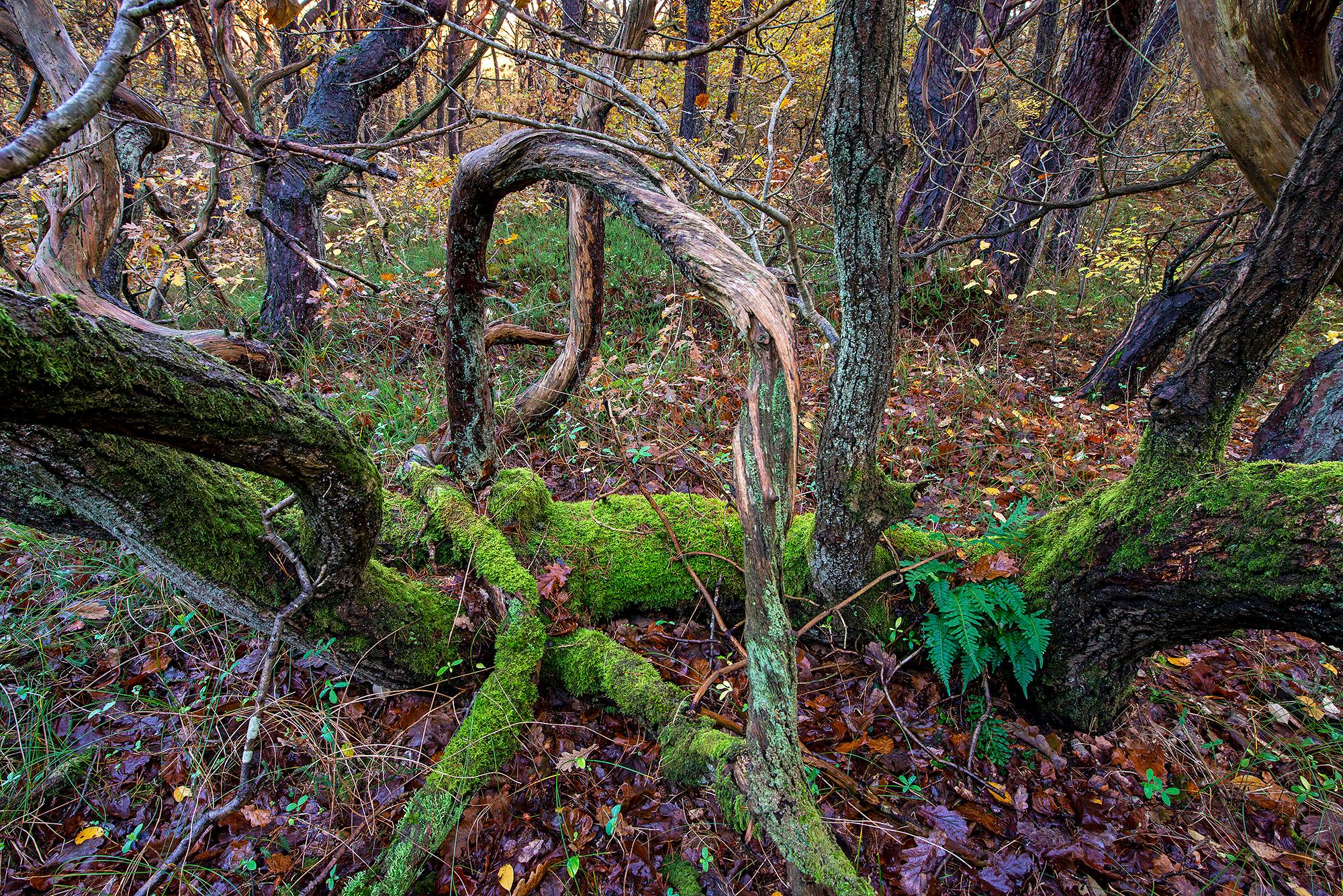 Met mossen bedekte verwrongen boomstammen en takken in het oude naaldbos van de Schoorlse Duinen.