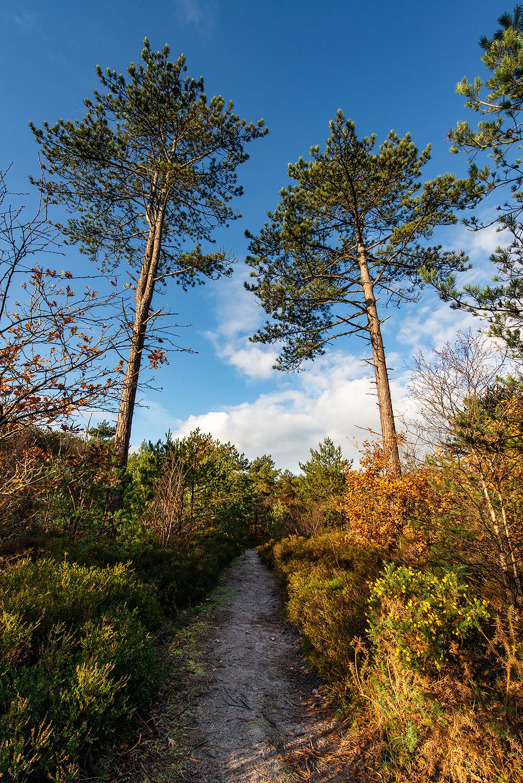 Wandelpad door het naaldbos tijdens herfst in de Schoorlse Duinen bij Bergen aan Zee
