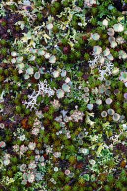 Verzameling van diverse korstmossen op het duinzand tijdens herfst in de Schoorlse Duinen bij Bergen.