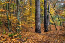 Herfstkleuren en gevallen bladeren in het bos van Landgoed Koningshof bij Overveen.