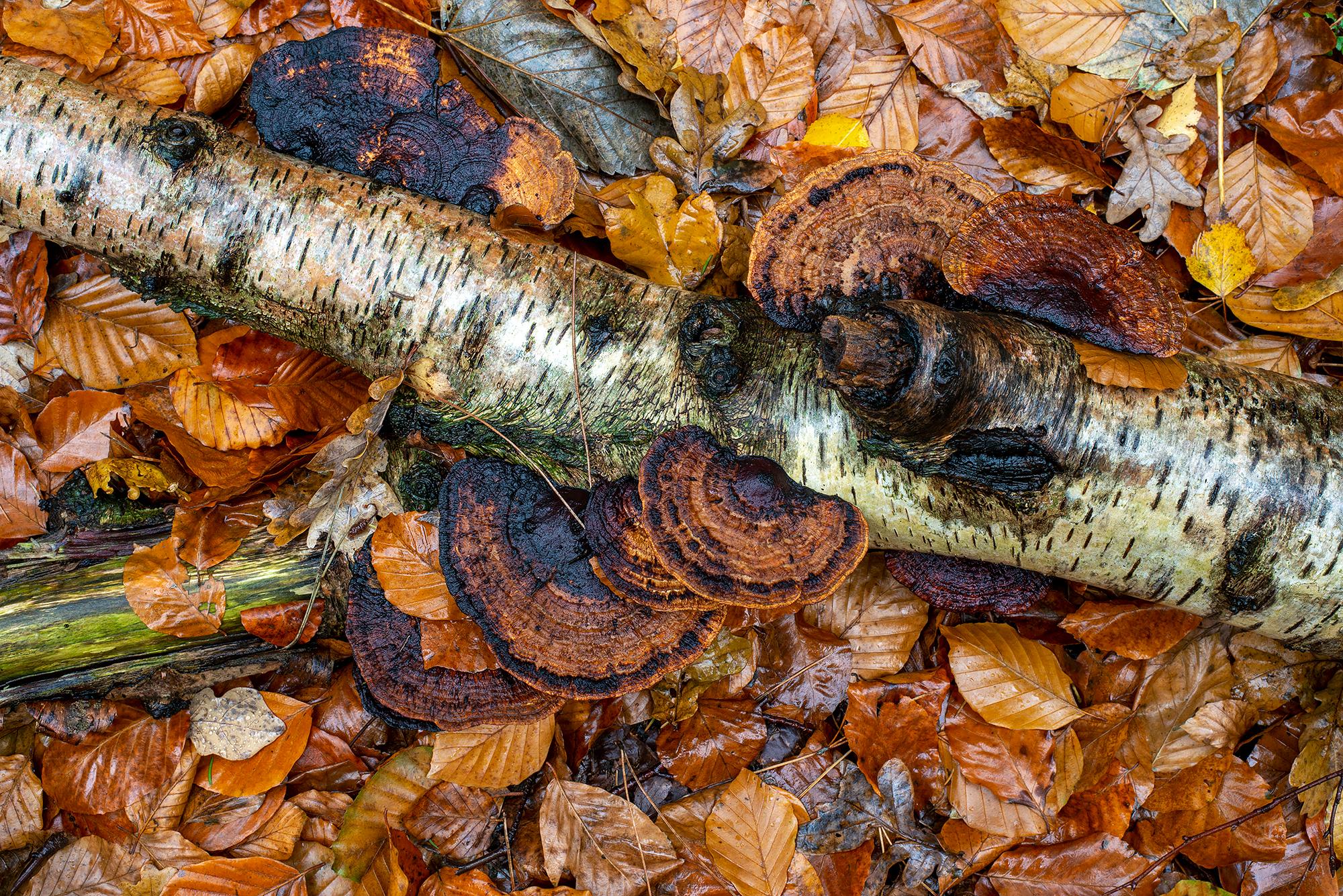 Gevallen berkentak met roodporiehoutzwam (Daedaleopsis confragosa) tussen herfstbladeren in het bos van Landgoed Koningshof in Overveen