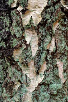 Met korstmossen bedekte boomschors van boomstam ruwe berk (Betula pendula) in het bos van Landgoed Koningshof in Overveen