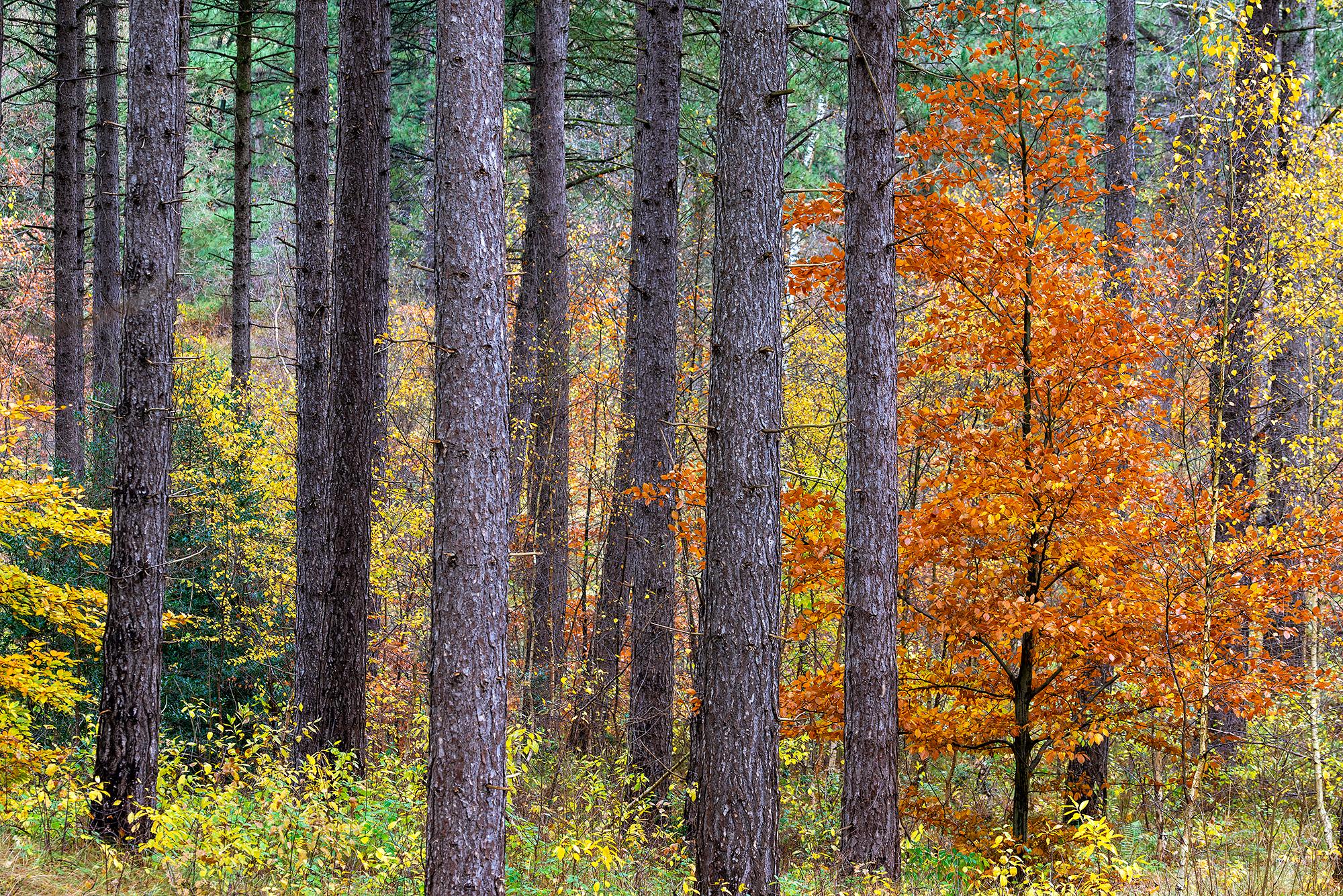 Loofbomen met verkleurd blad tussen de stammen van naaldbomen tijdens herfst in het bos van Landgoed Koningshof bij Overveen.