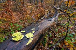 Grote, omgevallen boom bedekt met zwammen tijdens herfst in het bos van Landgoed Koningshof bij Overveen