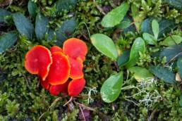 Rode hoedjes van gewoon vuurzwammetje (Hygrocybe miniata) tussen het mos in de duinen van Landgoed Koningshof bij Overveen.