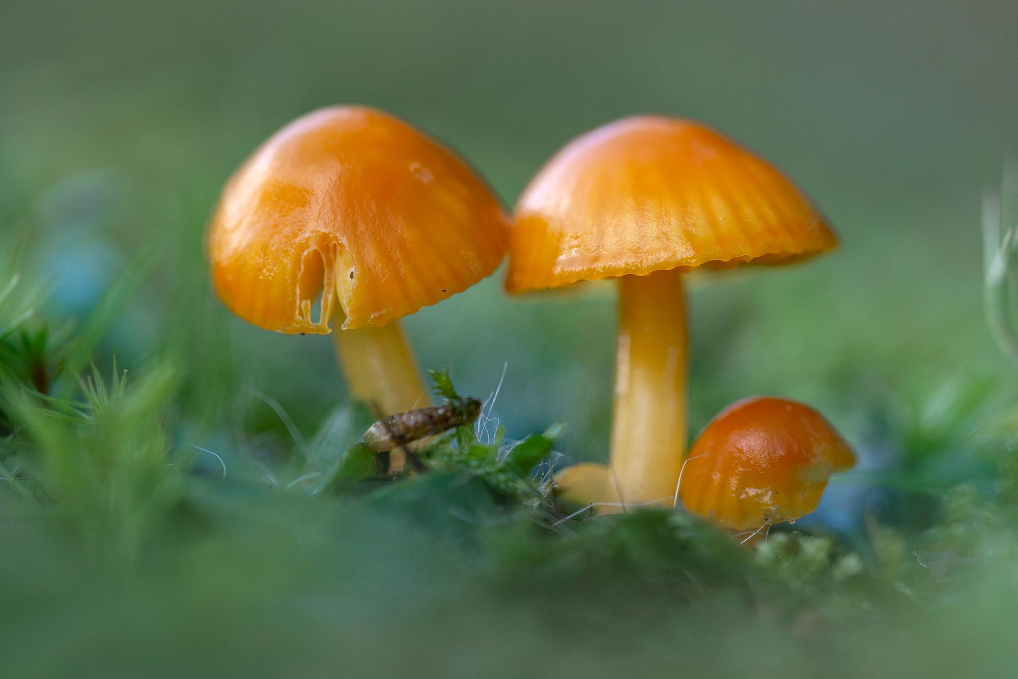 Donkergele hoedjes van Kabouterwasplaat (Hygrocybe insipida) in het duingrasland van Landgoed Koningshof bij Overveen