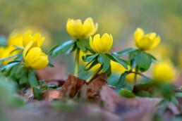 Gele bloemen van bloeiend winterakoniet (Eranthis hyemalis) tijdens voorjaar op Landgoed Marquette in Heemskerk