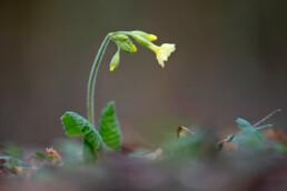 Gele bloem van slanke sleutelbloem (Primula elatior) op de bodem van het bos tijdens lente op Landgoed Koningshof in Overveen