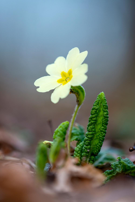 Gele bloem van stengelloze sleutelbloem (Primula vulgaris) op de bodem van het bos tijdens lente op Landgoed Koningshof in Overveen