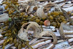 Aangespoelde schelp en eikapsels van tepelhoorn na een storm op het strand van Wijk aan Zee.