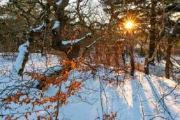 Warm licht van de ochtendzon schijnt door takken over de besneeuwde grond van het bos in het Noordhollands Duinreservaat bij Bergen