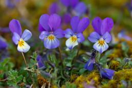 Rijtje paarse bloemen van duinviooltje (Viola tricolor) op de duinhellingen in het Noordhollands Duinreservaat bij Egmond-Binnen.