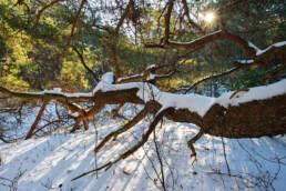 Warm licht van de ochtendzon schijnt door takken over de besneeuwde grond van het bos in de Schoorlse Duinen bij Bergen