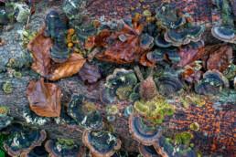 Elfenbankje op dood hout in het bos van Landgoed Elswout bij Overveen