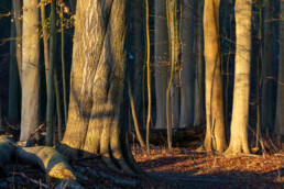 Warme zonnestralen van zonsopkomst raken boomstammen in het bos van landgoed Elswout bij Overveen