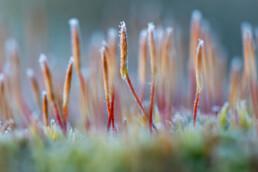 Rijp op sporen mos na een koude nacht in het Noordhollands Duinreservaat bij Bergen aan Zee