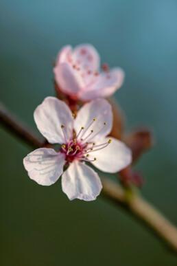 Lichtroze bloemen van bloeiende boom tijdens het vroege voorjaar op Landgoed Marquette in Heemskerk.
