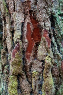 Met mossen en spinnenweb bedekte boomschors van naaldboom in de Schoorlse Duinen