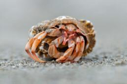 Aangespoelde heremietkreeft op het strand van Wijk aan Zee na een aantal dagen storm op zee