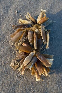 Aangespoelde kluwen eikapsels van hondshaai op het strand van Texel