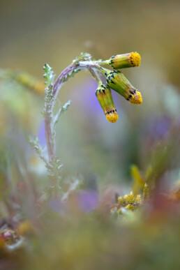 Bloeiend klein kruiskruid tussen viooltjes en andere voorjaarsbloeiers in de duinen van Egmond aan Zee