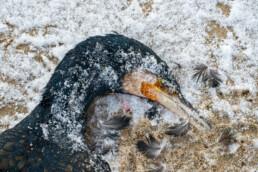 Dode aalscholver op het besneeuwde strand van De Hors op Waddeneiland Texel